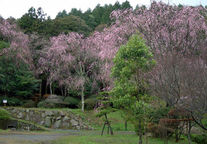 桜の園 写真